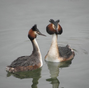 Great Crested Grebes (seen in Geneva)
