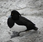 Tufted Duck (seen in Geneva)