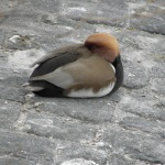 Red-Crested Pochard (seen in Geneva)