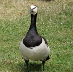 Barnacle Goose (seen in Finland)