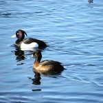 Tufted Ducks (seen in Sweden)