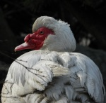 Muscovy Duck (seen in Tivoli, Denmark)