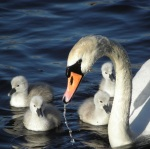 Mute swan (seen in Sweden)