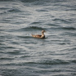 Common Eider, female (seen in Sweden)