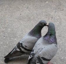 Pigeons Seen in Ystad, Sweden