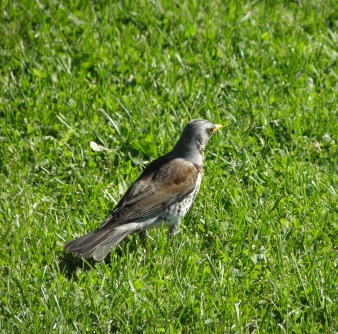 Fieldfare Seen in Trondheim, Norway