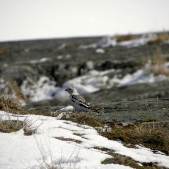 Snow Bunting Seen in Karlskrona, Sweden