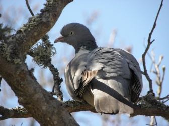 Common Wood Pigeon Seen in Karlskrona, Sweden