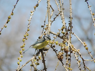 Blue tit Seen in Karlskrona, Sweden