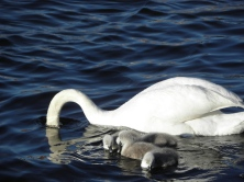 Swan with babies Seen in Karlskrona, Sweden