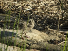 Common gull baby Seen in Karlskrona, Sweden