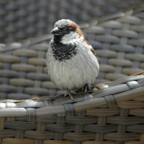 House Sparrow Seen at Wayne's in Karlskrona, Sweden