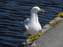 Common gull Seen in Karlskrona, Sweden