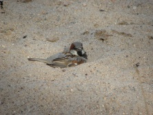 House Sparrow Seen in Karlskrona, Sweden