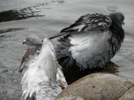 Pigeons washing Seen in Ystad, Sweden