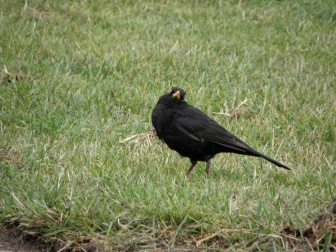 Common blackbird Seen in Ystad, Sweden