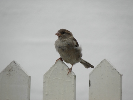 House Sparrow Seen in Ronneby, Sweden