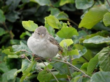 House Sparrow Seen around Helsingor, Denmark