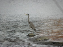 Grey Heron Seen in Karlskrona, Sweden