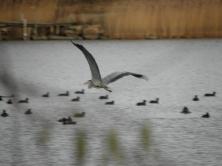 Grey Heron Seen in Karlskrona, Sweden